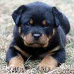 Rottweiller Puppy In Training