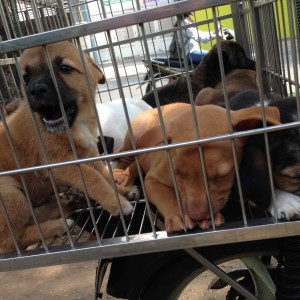 Puppies for Sale, Ho Chi Minh City